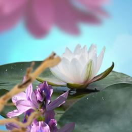 Fleur de Nymphéa